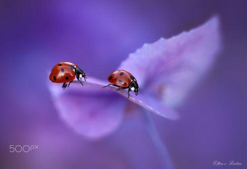 Ladybirds on hydrangea | by jeverz | http://ift.tt/2cdIS8m