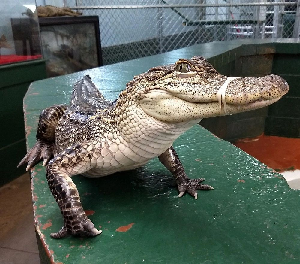 Alligator farm and petting zoo in 2020 zoo animals pets