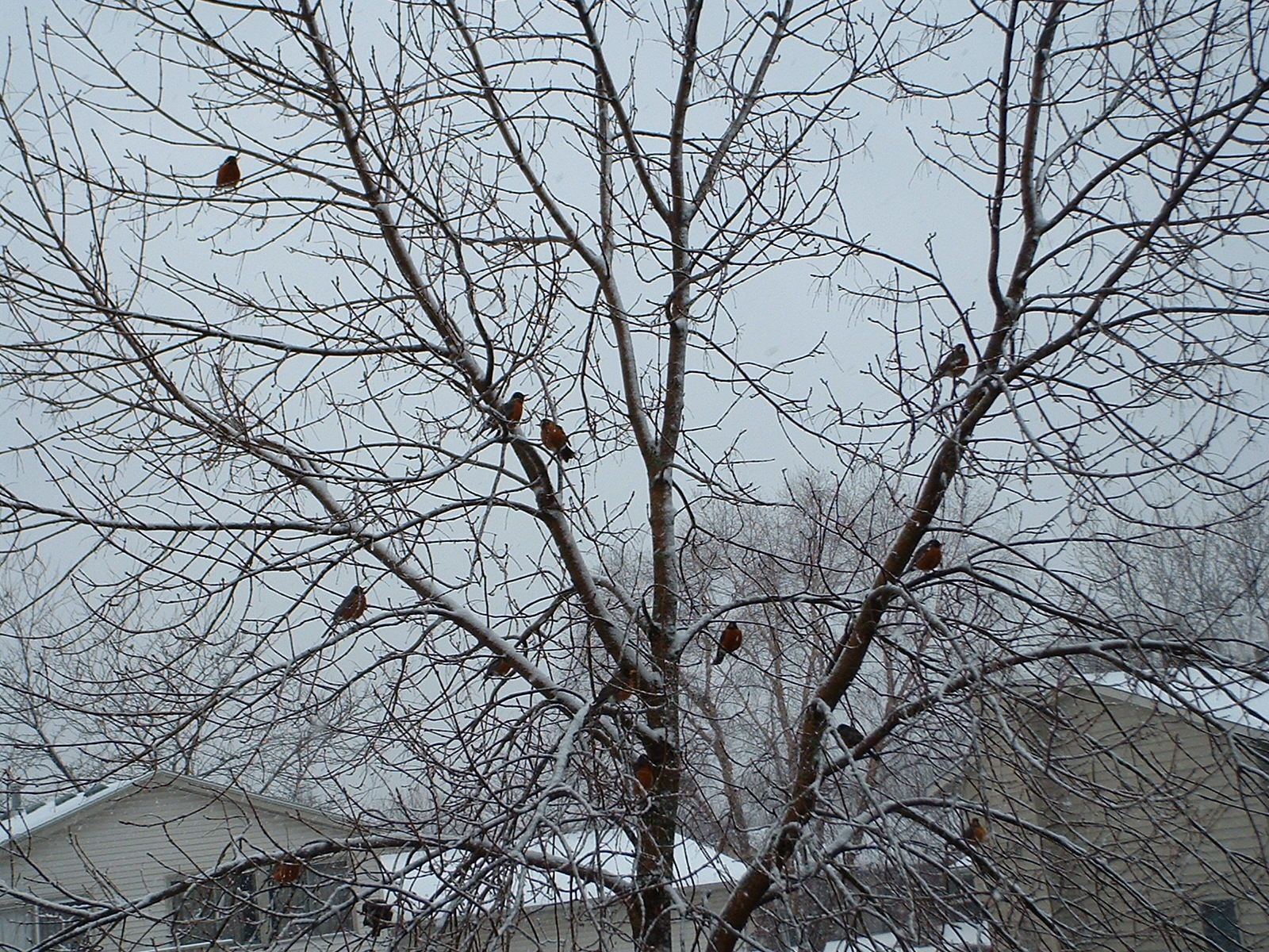 Robins riding out the Minnesota winter.
