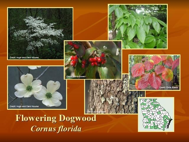 Flowering dogwood cornus florida small deciduous flowering tree flowering dogwood cornus florida small deciduous flowering tree native from me to fl west to tx north to ks medium growth rate spring flowers mightylinksfo