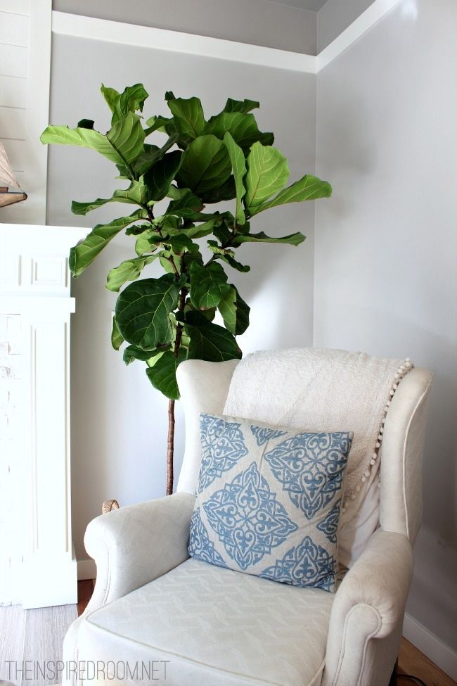 Fiddle Leaf Fig Tree And She Bought It At Home Depot Would Love One Of These