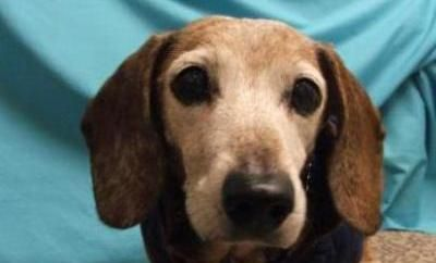 Poppy Adopted From Seattle Humane Society Jan 2013 Dog Adoption Dachshund Mix Humane Society