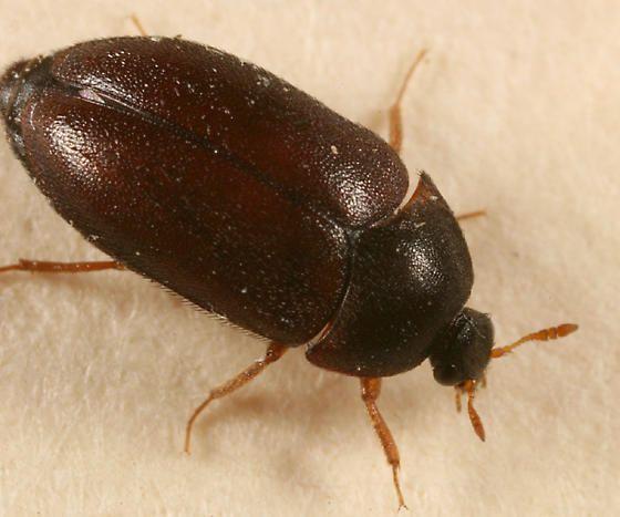 Black Carpet Beetle Attagenus Brunneus Black Carpet Beetle A Bug S Life