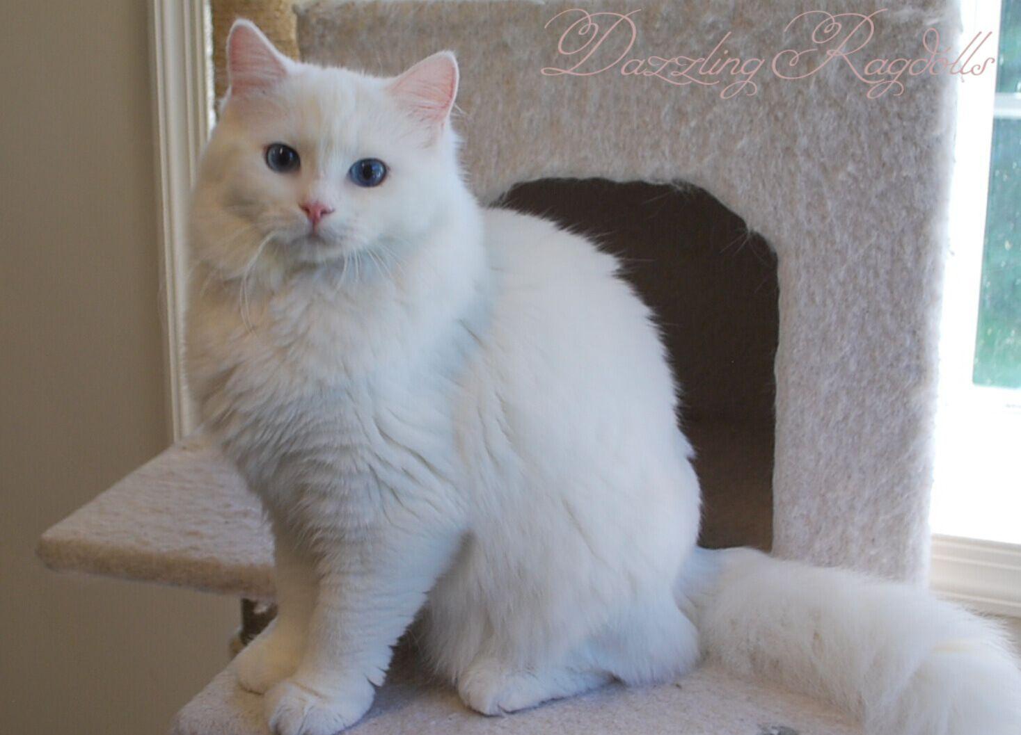Blue Eyed White Ragdoll White Ragdoll Cat Cat With Blue Eyes Pretty Cats