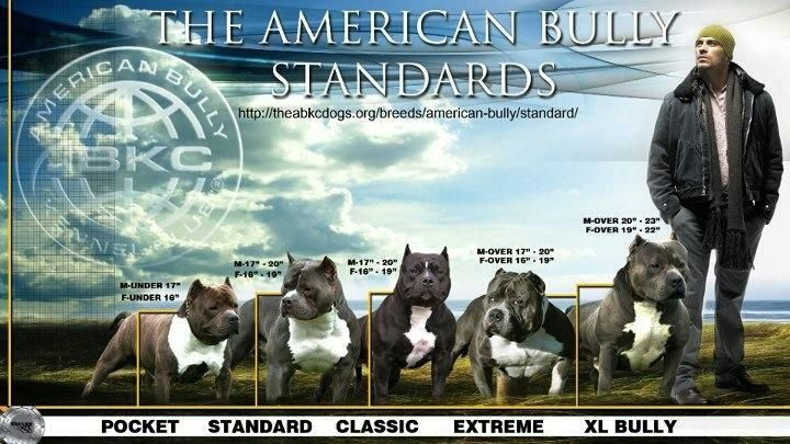 Sizes Of The American Bully American Bully Bully Dog Bullying