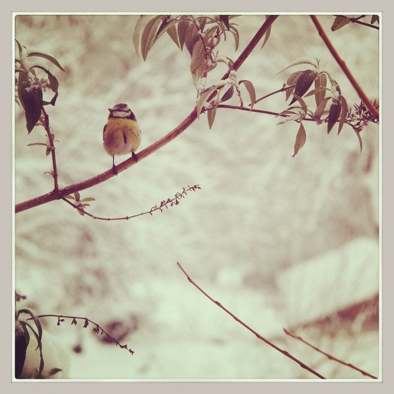 blue tit under snow by arnopiel.deviantart.com on @deviantART