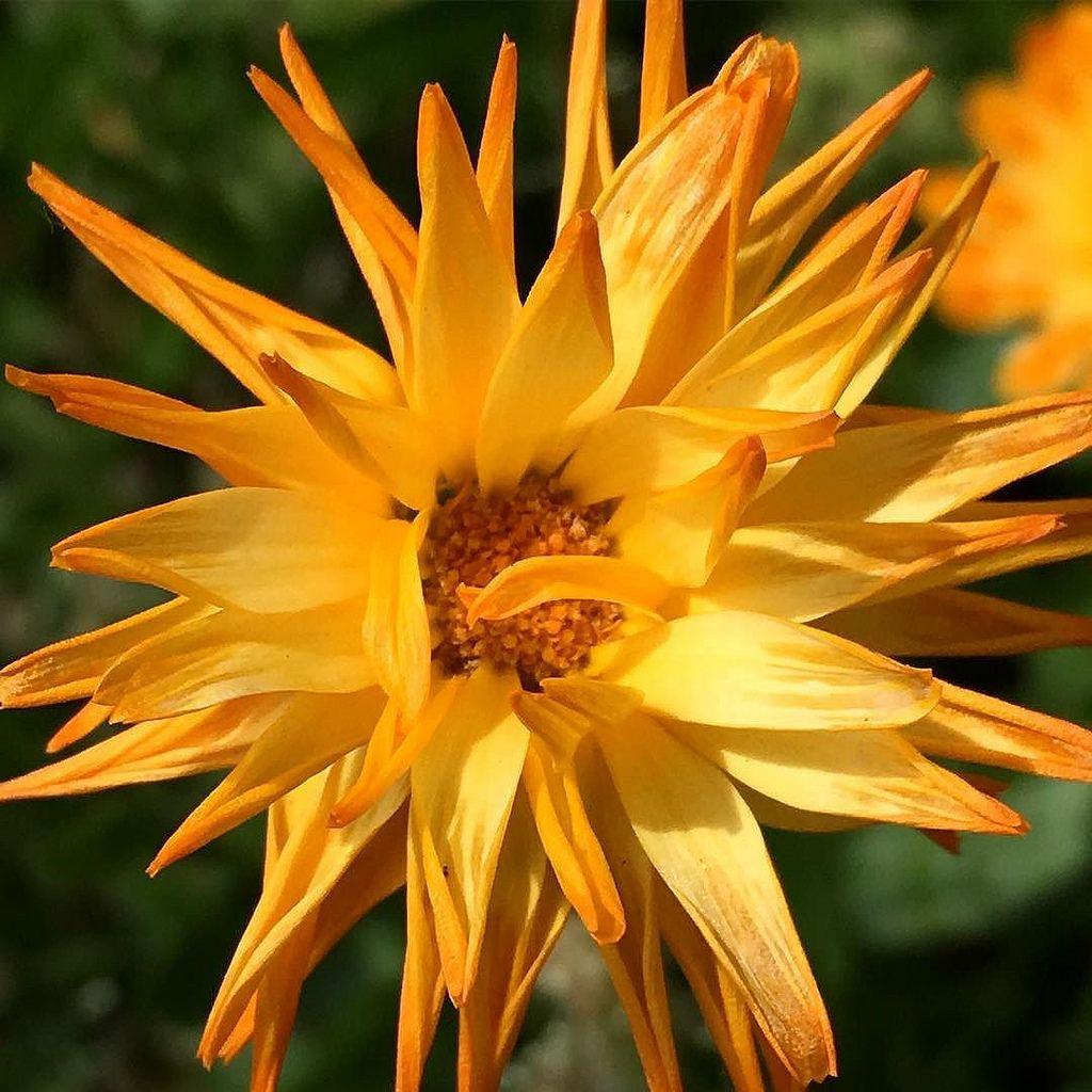 fading pictureoftheday daisy flower yellow orange