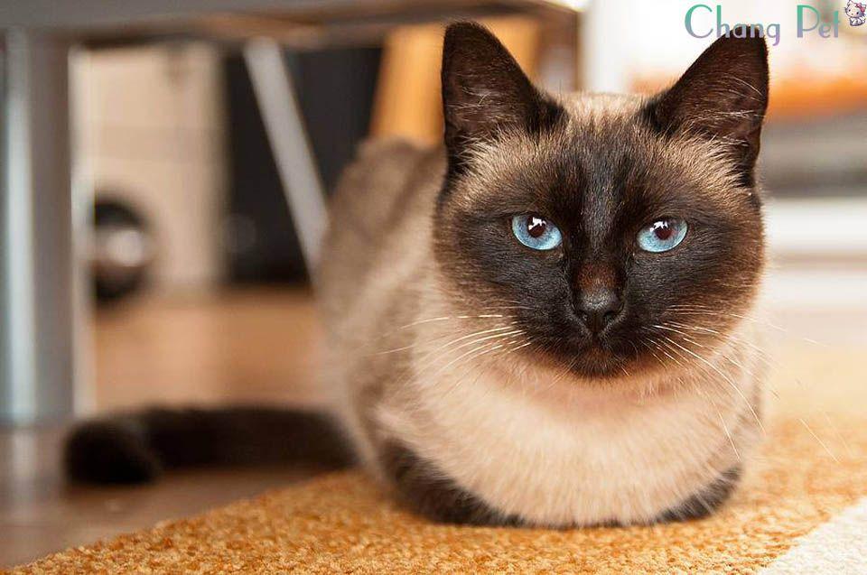Siamese 34 Siamese Cats Cat Breeds Balinese Cat
