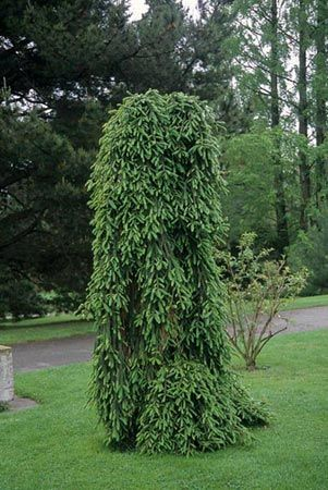 Picea Abies Inversa Vs Reflexa Conifers Forum Gardenweb