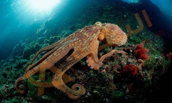 تفسير حلم الأخطبوط في المنام وهو احد الحيوانات البحرية حيث لديه ثمانية أذرع حيث يتم تصنيفه من ضمن الرخويات Scuba Diving Magazine Octopus Octopus Intelligence