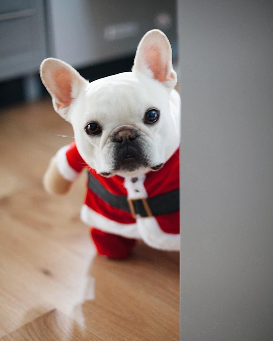 Pin By Kaira On Christmas Bulldog Cute French Bulldog Cute Pugs