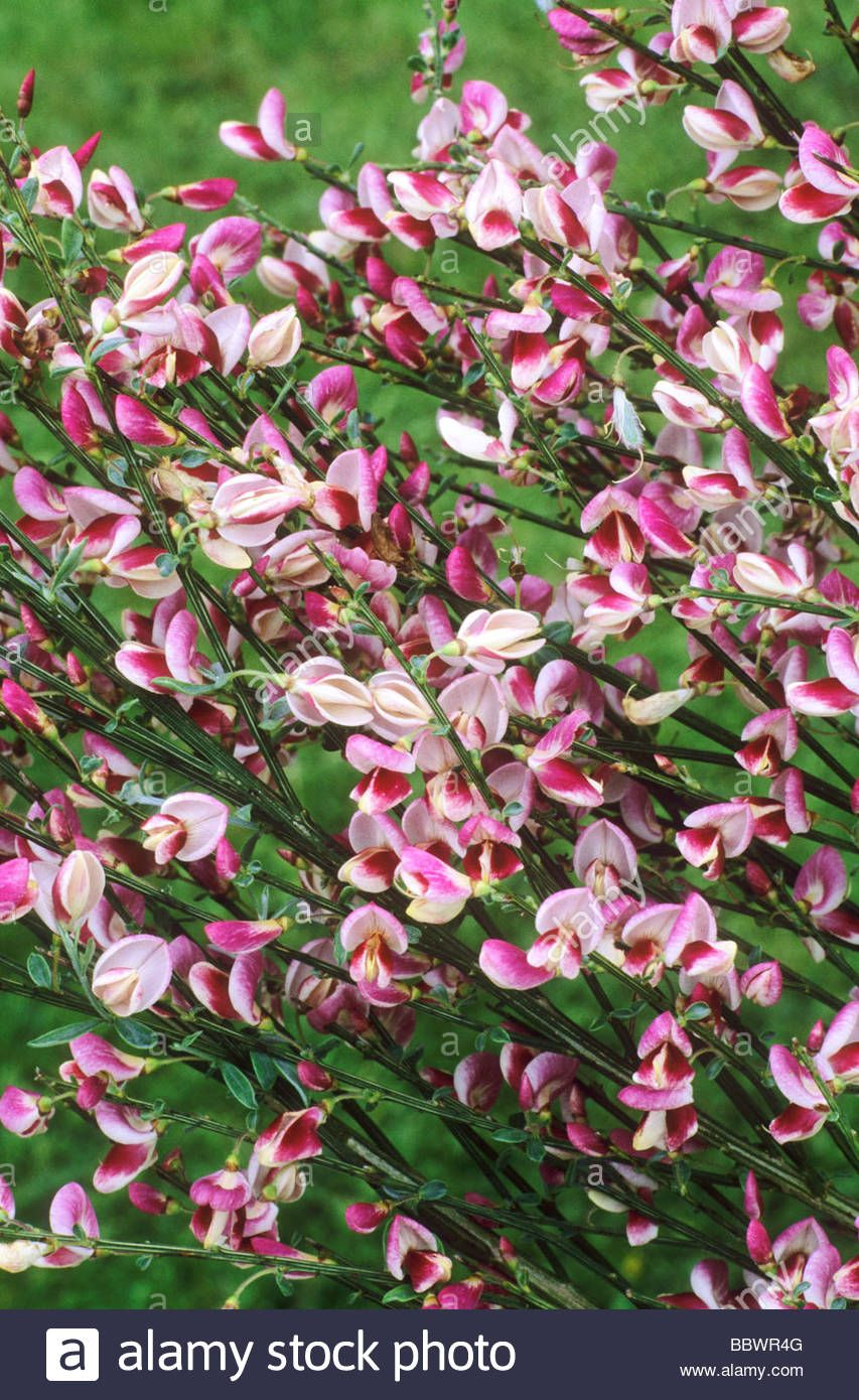 Download This Stock Image Cytisus Mrs Norman Henry Broom Red And White Flower Flowers Garden Plant Plants Flower Garden Plants White Flowers Flower Garden