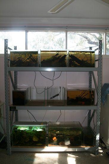 Wild Betta Breeding Rack Betta Breeding Betta Fish Tank Fishing Room