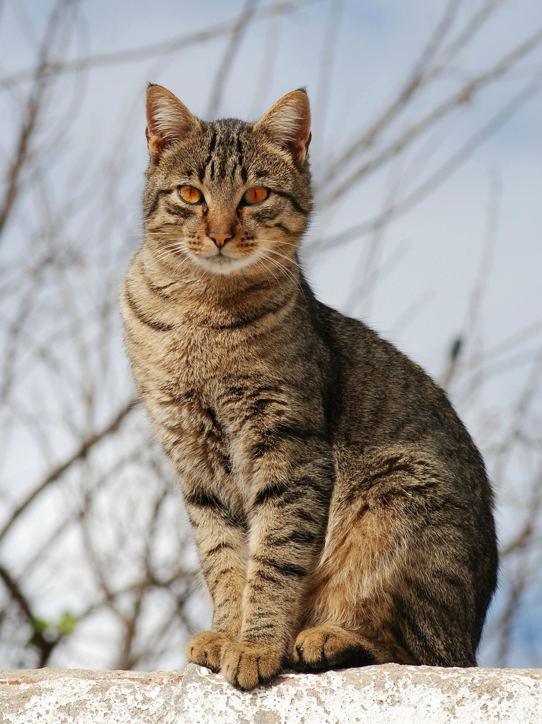 Brambleclaw! American shorthair cat, Grey tabby cats