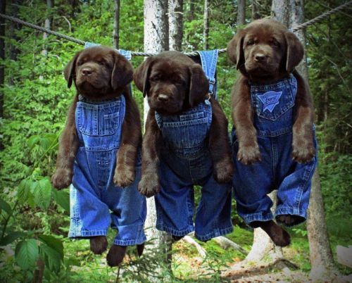 puppies. in overalls.