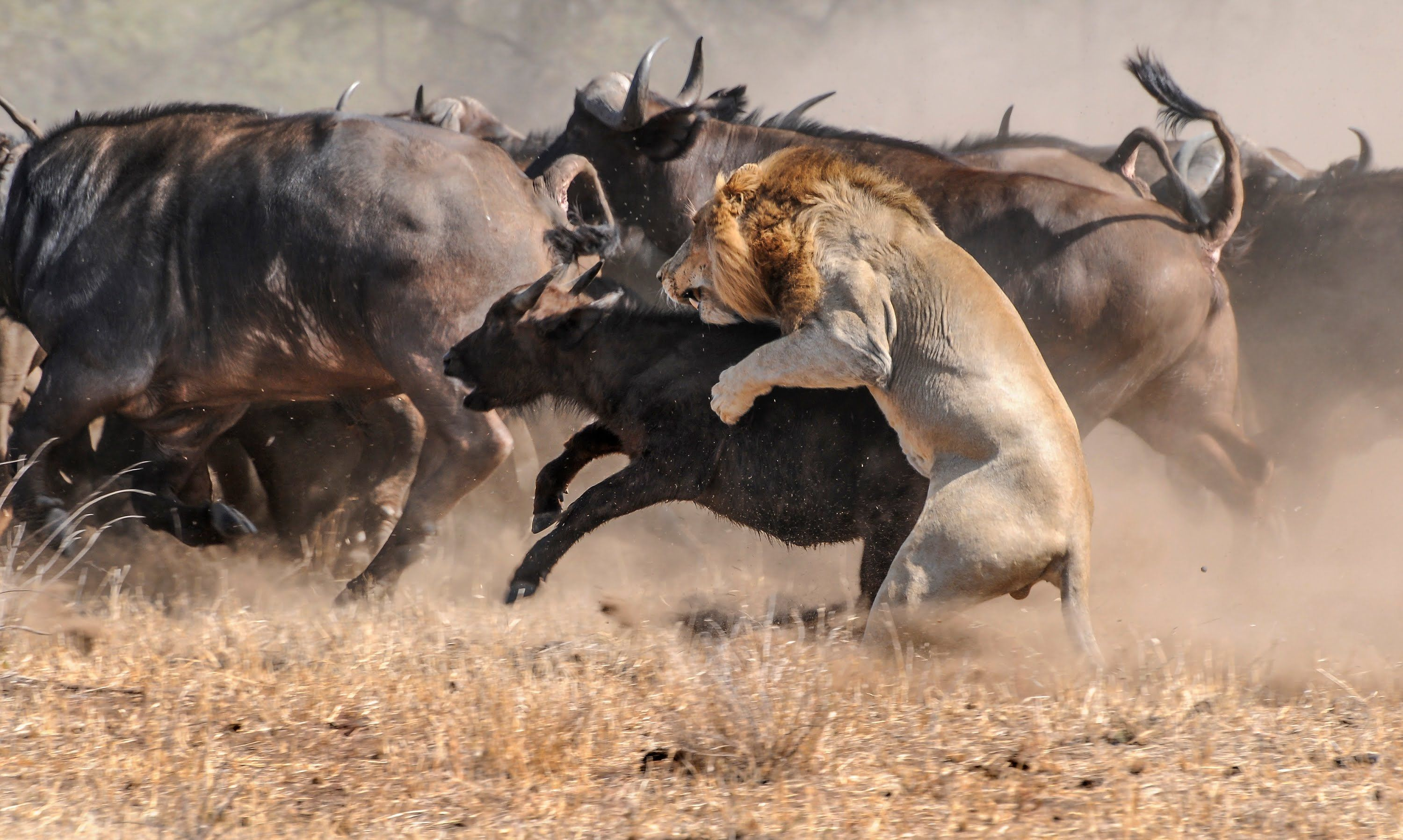 The Noble king of The Beasts - National Geographic Documentary [Video] - http: