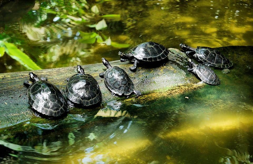 Amazon Turtles Procnemis Expansa They Inhabit The Amazon River And Its Affluent Turtle Amazon River Animals