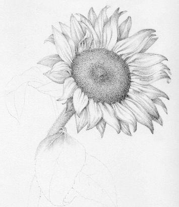 Sunflower pencil sketch great tone and detail in the leaves
