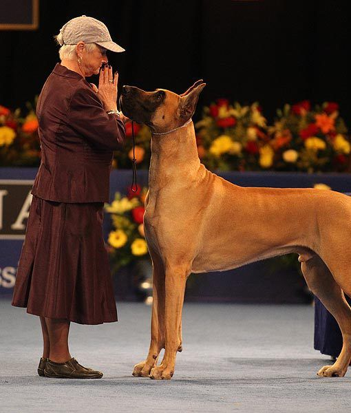 Great Dane Westminster National Dog Show Dane Dog Great Dane