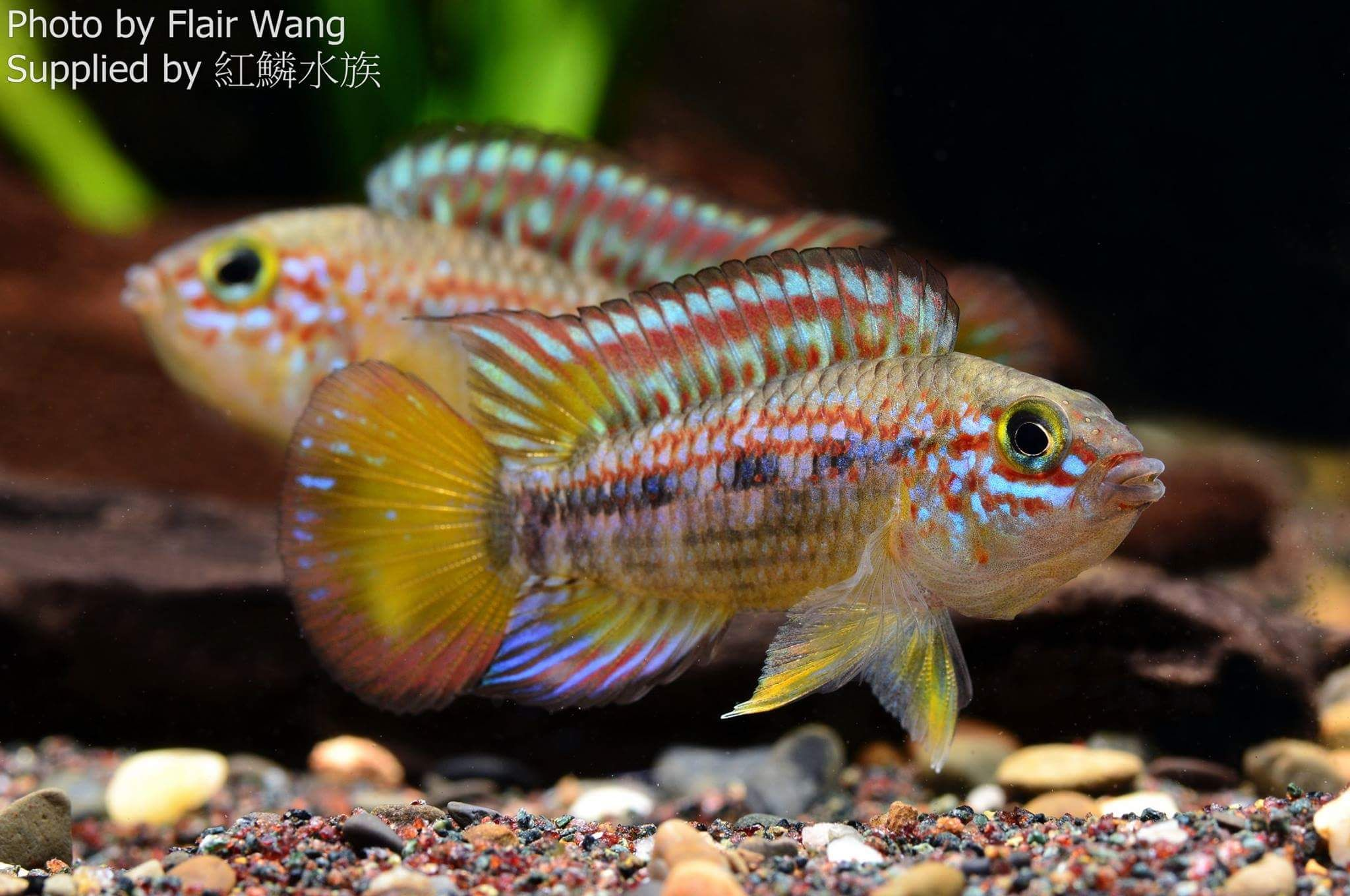 Apistogramma Ortegai Freshwater Fish Tankfreshwater