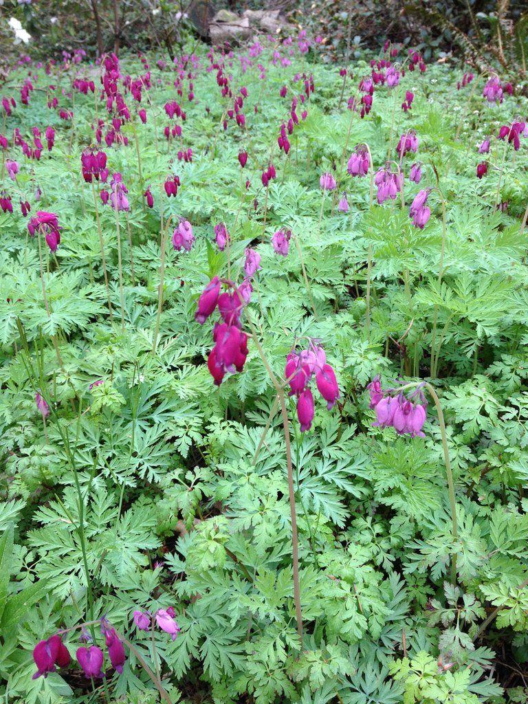 Dicentra Formosa Bacchanal Purple Western Bleeding Heart Bleeding Heart Flowering Shrubs Plants