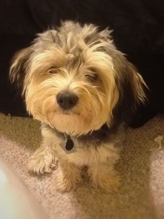 My 8 Month Old Morkie Puppy Morkie Puppies Puppy Adoption Poodle Puppy