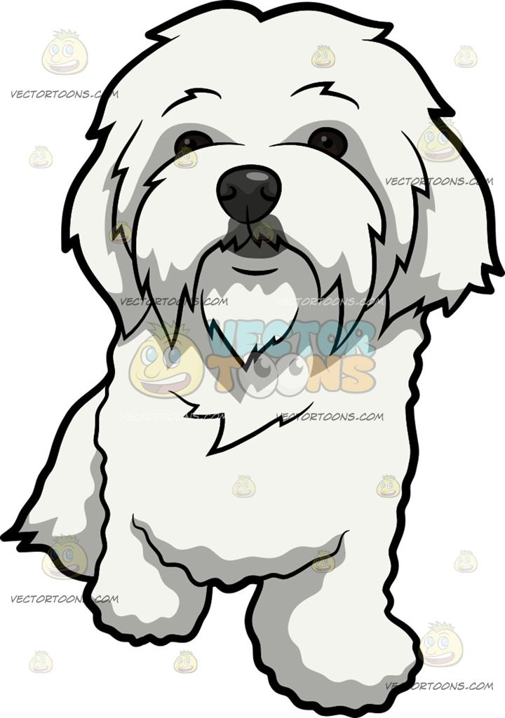 A Curiously Cute Maltese Dog A Dog With Long White Coat And Droopy