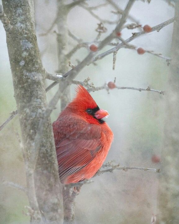 Red bird in the snow.