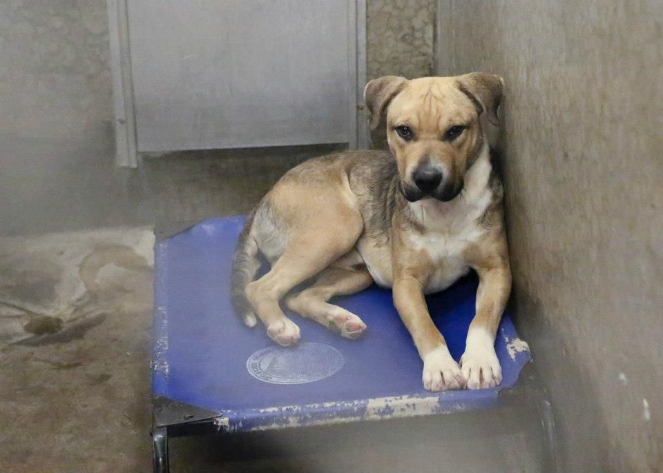 03 14 15 Odessa Urgent Shepherd Mix Male Less Than A Year Old