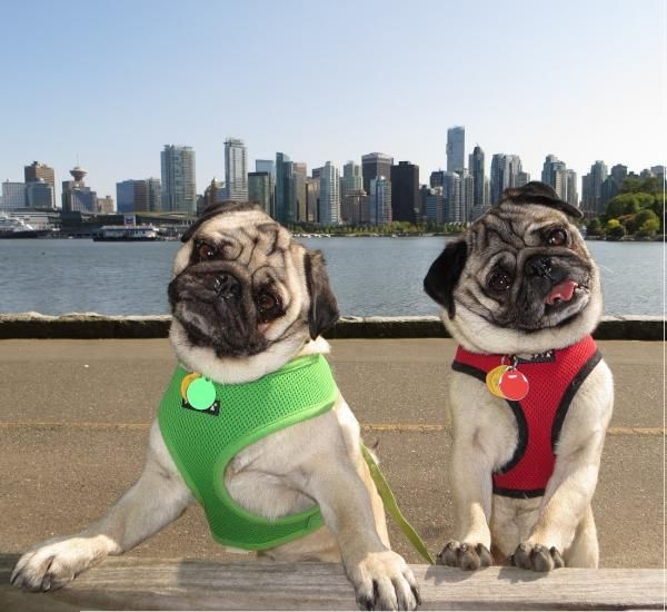 Pug Twins With Vancouver In The Background Pug Life Pug Love
