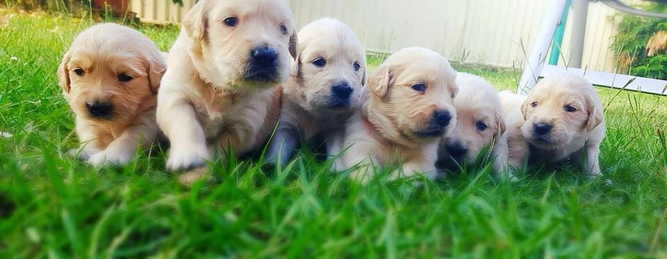 Purebred golden retriever for sale qld