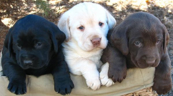 This Pictures Is Great 5 Pounds Of Labrador Puppies In A 2 Lb Bag Lab Puppies Labrador Retriever Puppies Kittens And Puppies