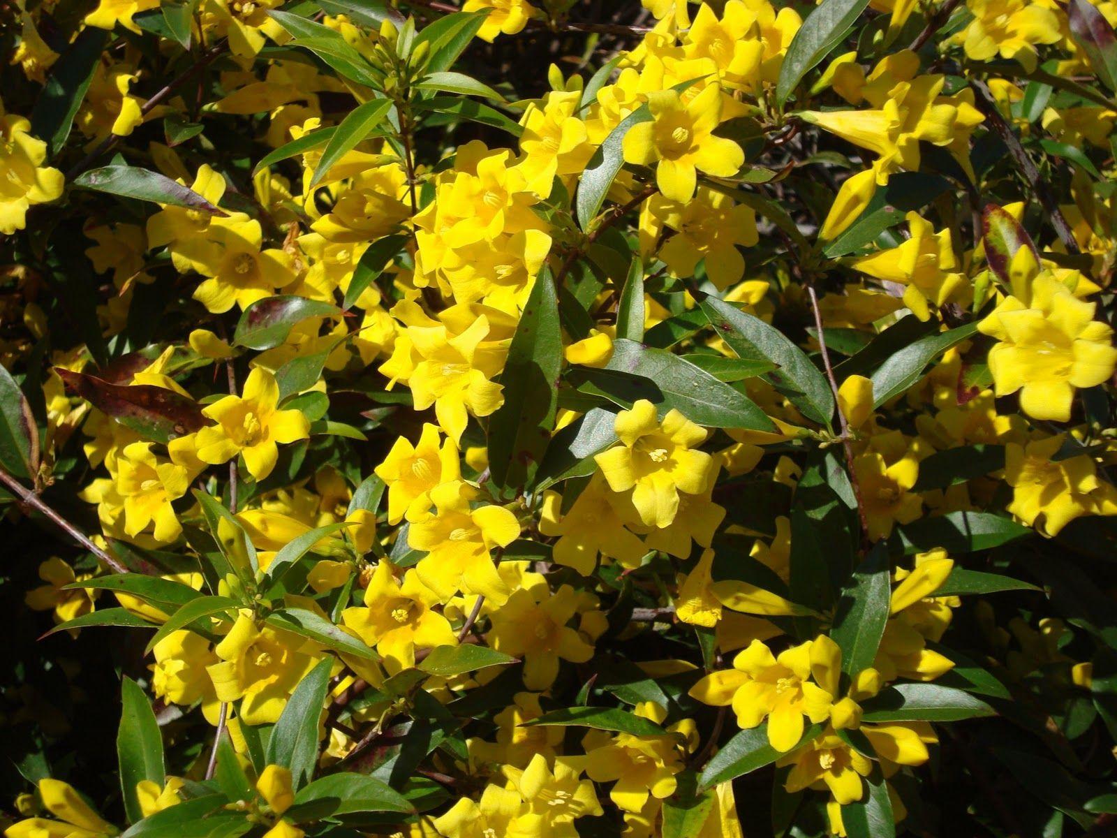 Gelsemium Sempervirens Flowers Caroline Yellow Jasmine Fragrant