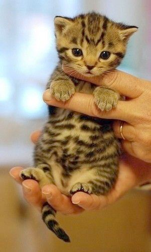 Neat Kittens For Sale Near Me Petco Cute Animals Kittens