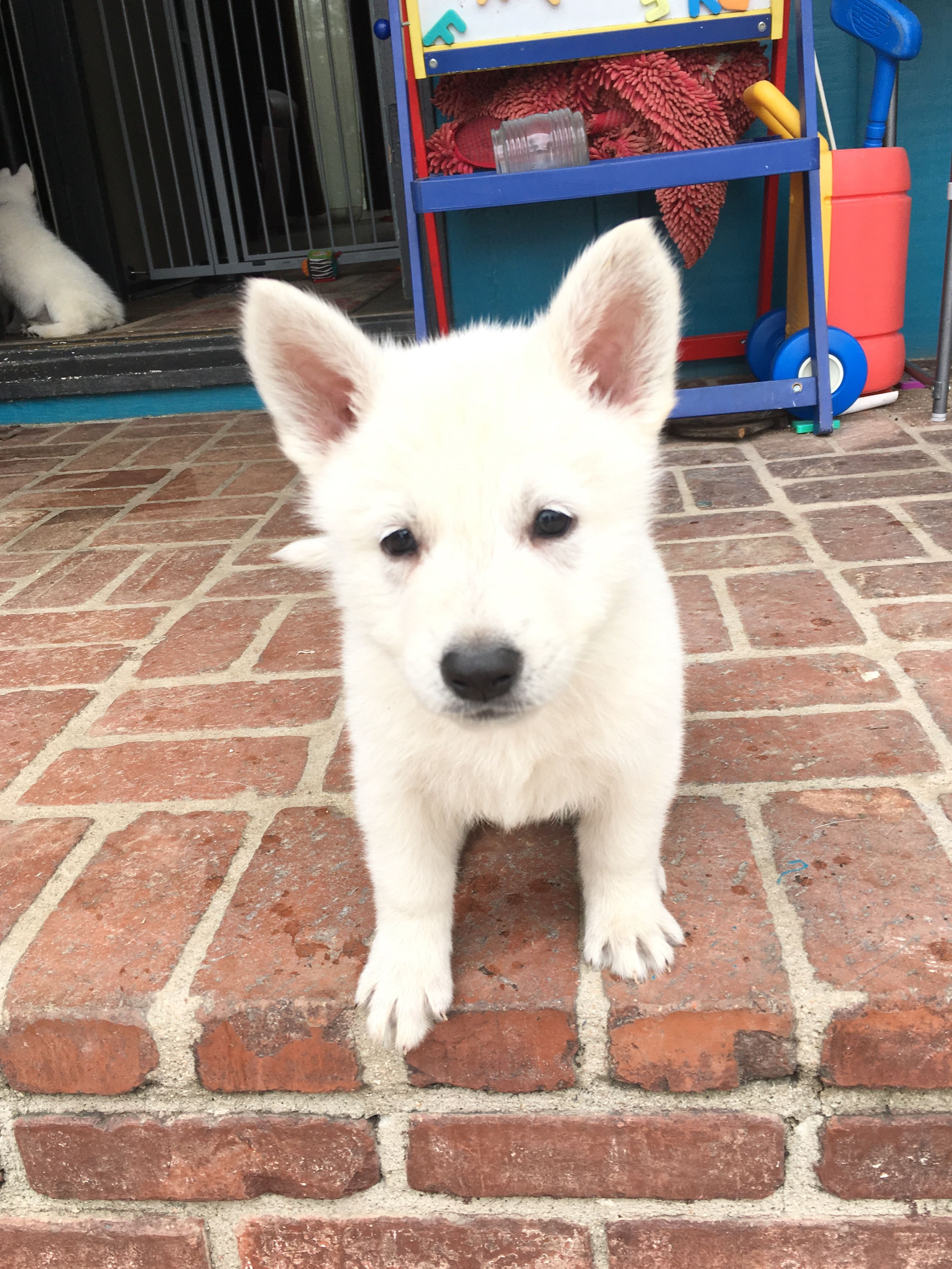 Yellow Girl a UKC White Shepherd puppy for sale in