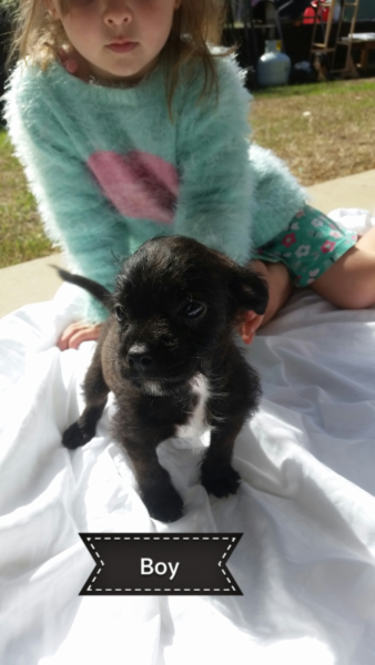 Boston Terrier X Toy Poodle Poodle Dog Dogs And Puppies Toy Poodle