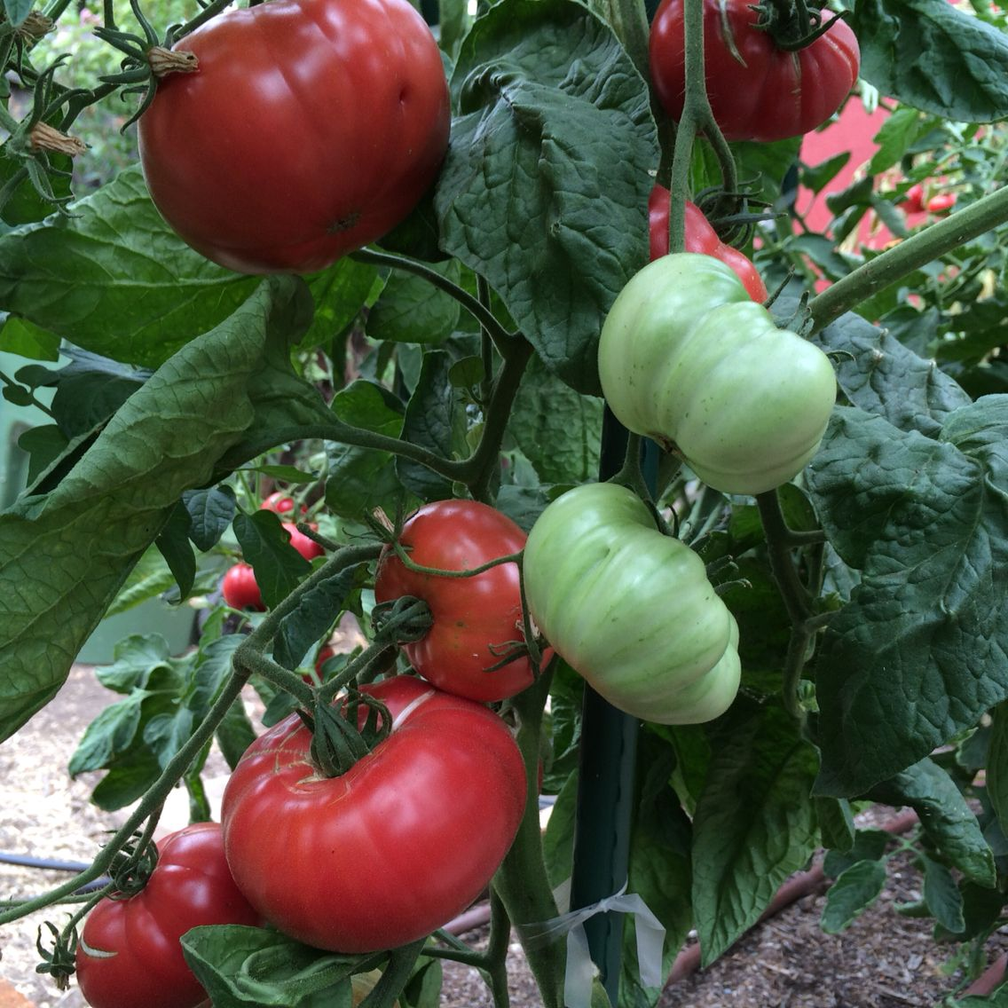 Pink Brandywine Tomatoes Ripening At Our 400 x 300
