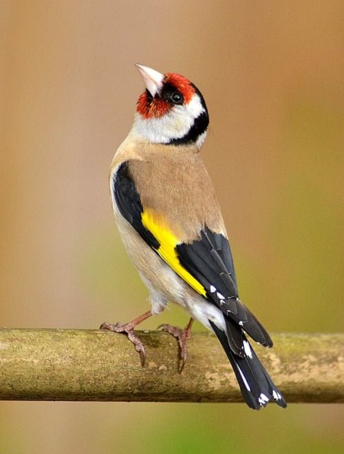 The European Goldfinch (Carduelis carduelis), is a small passerine bird in the finch family.