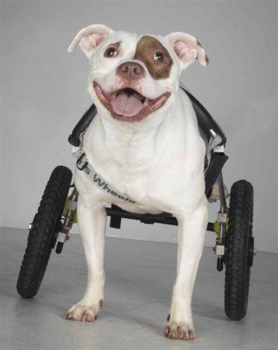 Inspiration On Wheels Disabled Dogs Visit Rehab Patients 3 Perros