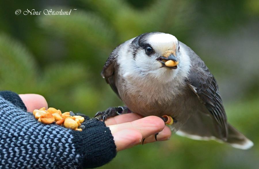Gray Jay hand feeding, Algonquin Park, Ontario, Canada