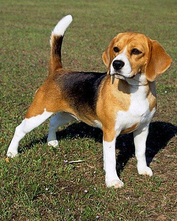 This Beagle Is A Real Hunter Beagle Puppy Beagle Dog Breed