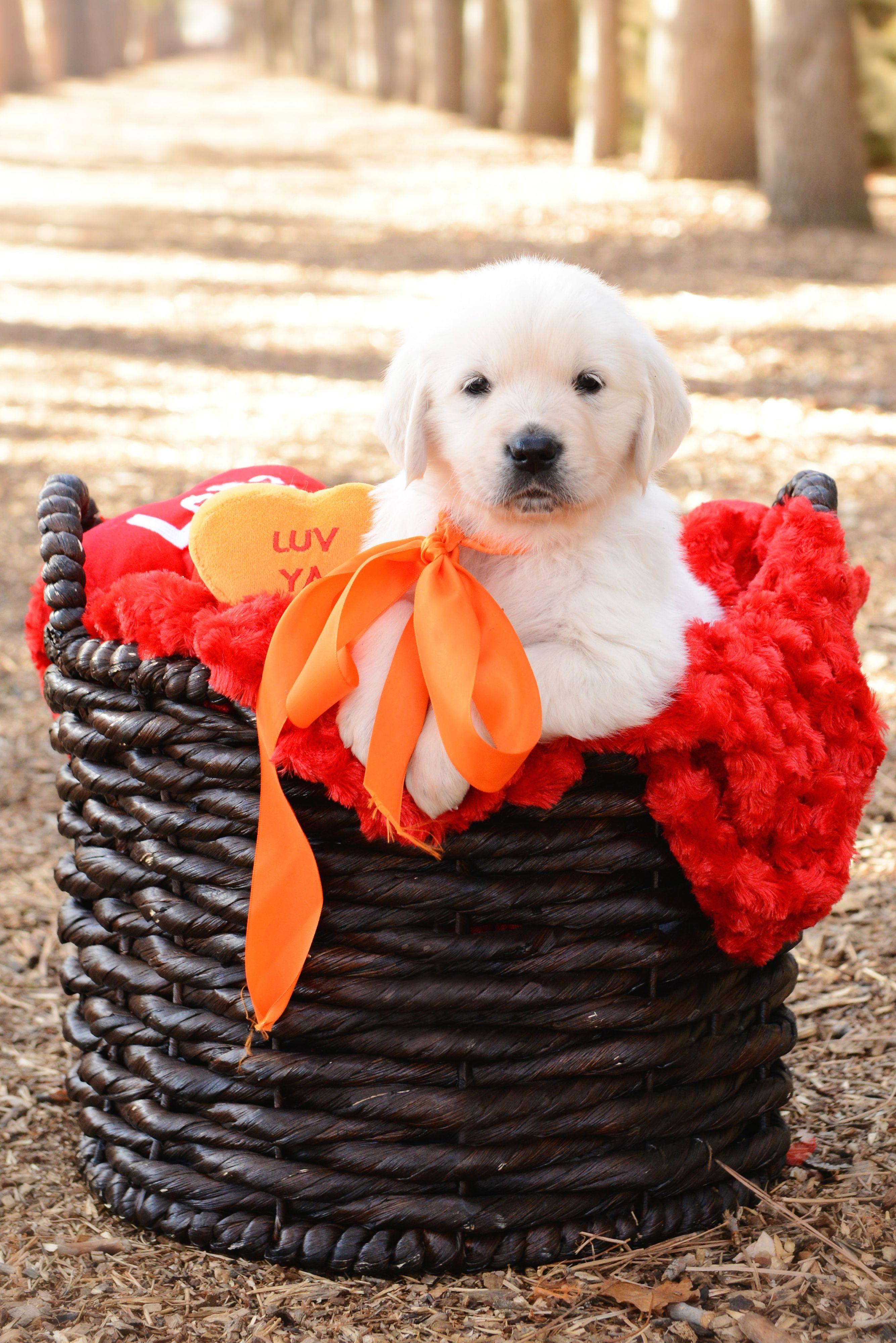 Mr Orange English Cream Golden Retriever Puppy 6 Weeks Old At Sweetheart Goldens Retriever Puppy Golden Retriever Golden Retriever Puppy