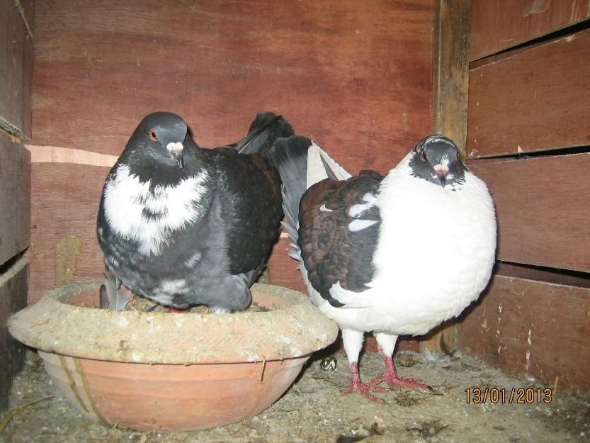King Pigeon For Sale in Lahore - 17683 | mypets.pk ...