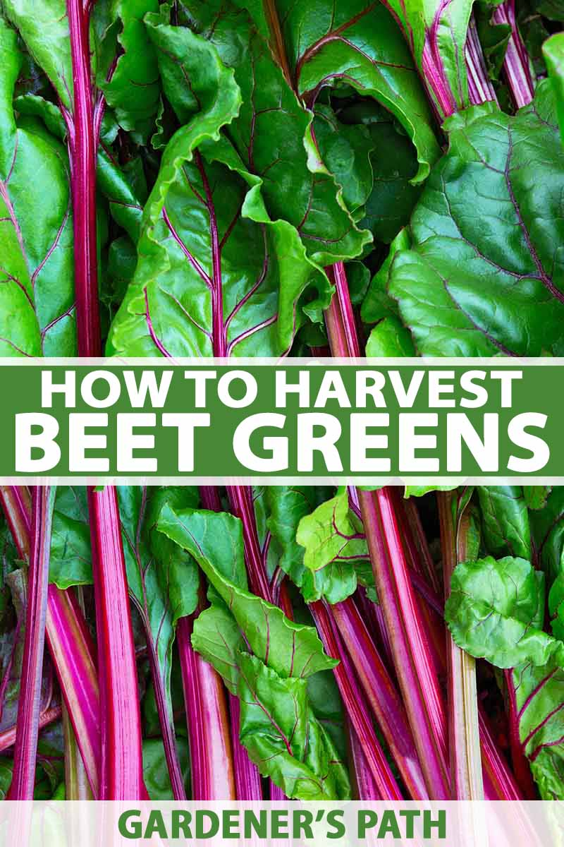 How To Harvest Beet Greens Gardener S Path Beet Plant Growing Beets Beet Greens