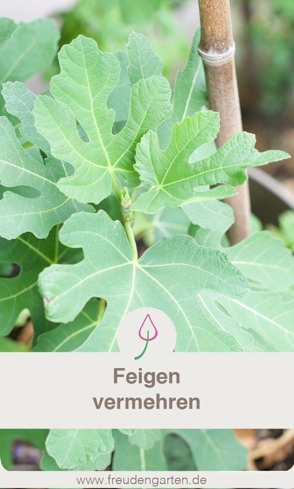 Feigenbaum Vermehren Es Gibt So Viel Leckere Rezepte Mit Feigen Wenn Ihr Dafur Auch Viele Feigen Braucht Am Besten Feigenbaum Vermehren Feigenbaum Pflanzen