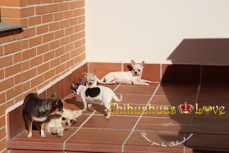 chihuahuas casa niños