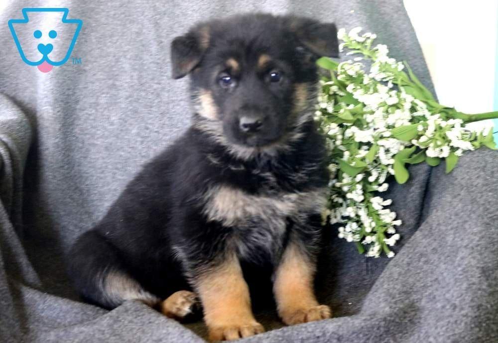 Joy Shepherd Puppies German Shepherd Puppies Dog Breeds