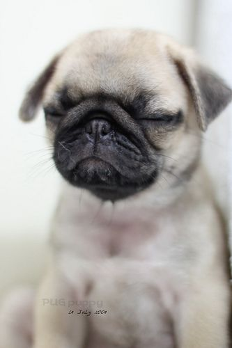 What Could Be Cuter That A Pug Puppy Cute Pug Puppies Cute