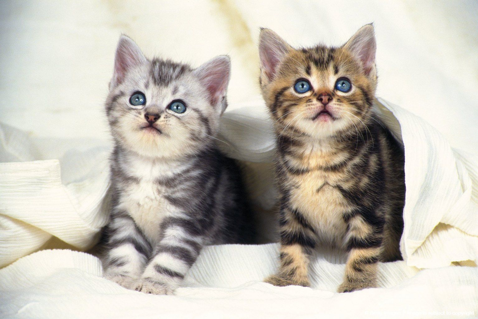 Two American Shorthair Kittens Covered In A White Blanket Looking Up Front View American Shorthair Kitten Kittens American Shorthair