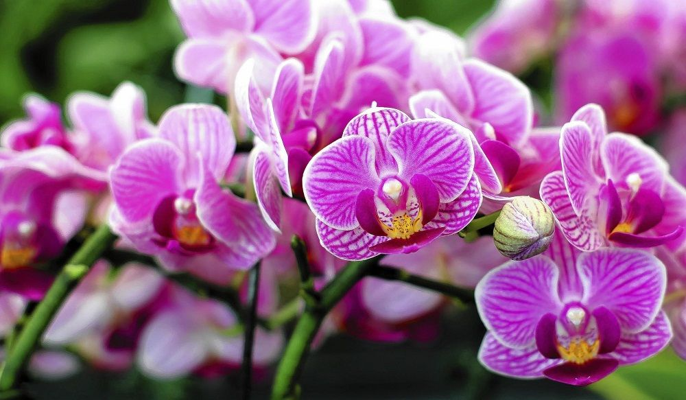 Harga Jual Anggrek Bulan Rp 140 000 Bunga Anggrek Tanaman